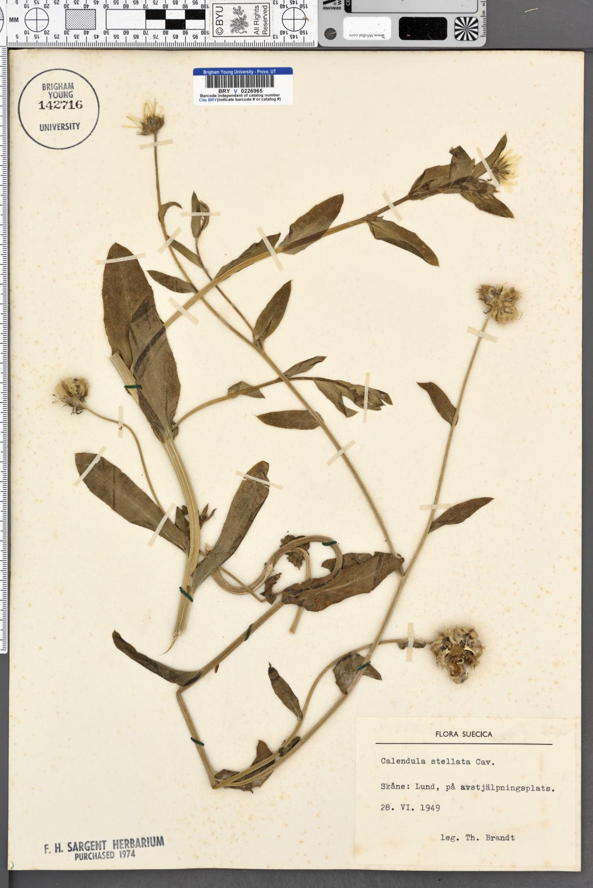 Calendula stellata image