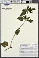 Image of Calyptocarpus brasiliensis