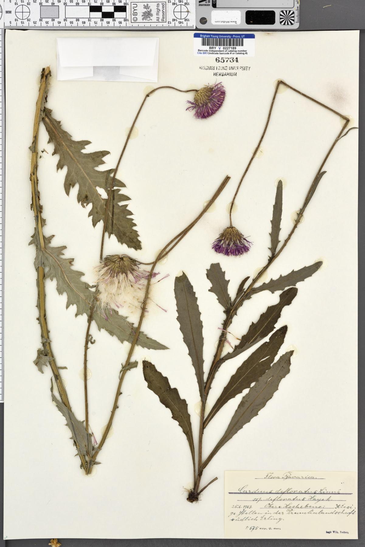 Carduus defloratus subsp. defloratus image
