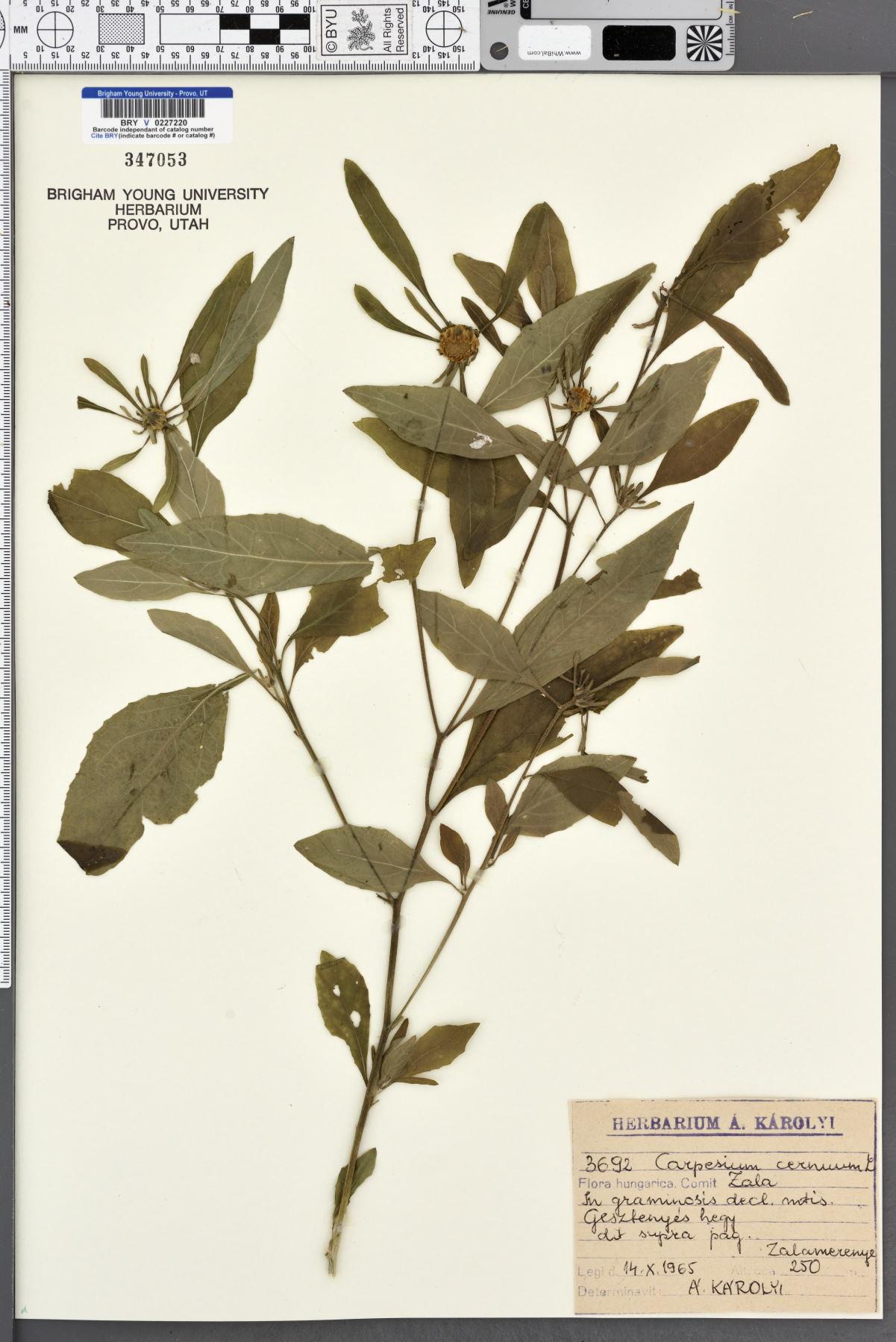 Carpesium cernuum image