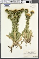 Carlina vulgaris image