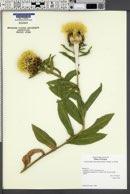 Centaurea macrocephala image
