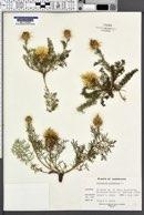 Image of Centaurea rupestris