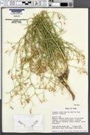 Centaurea virgata image