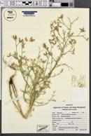 Centaurea virgata subsp. squarrosa image