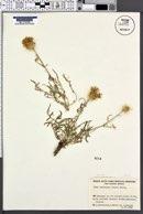 Centaurea ornata image