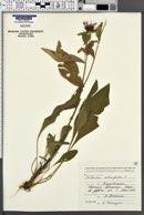 Image of Centaurea salicifolia