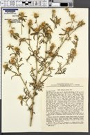 Centaurea iberica image