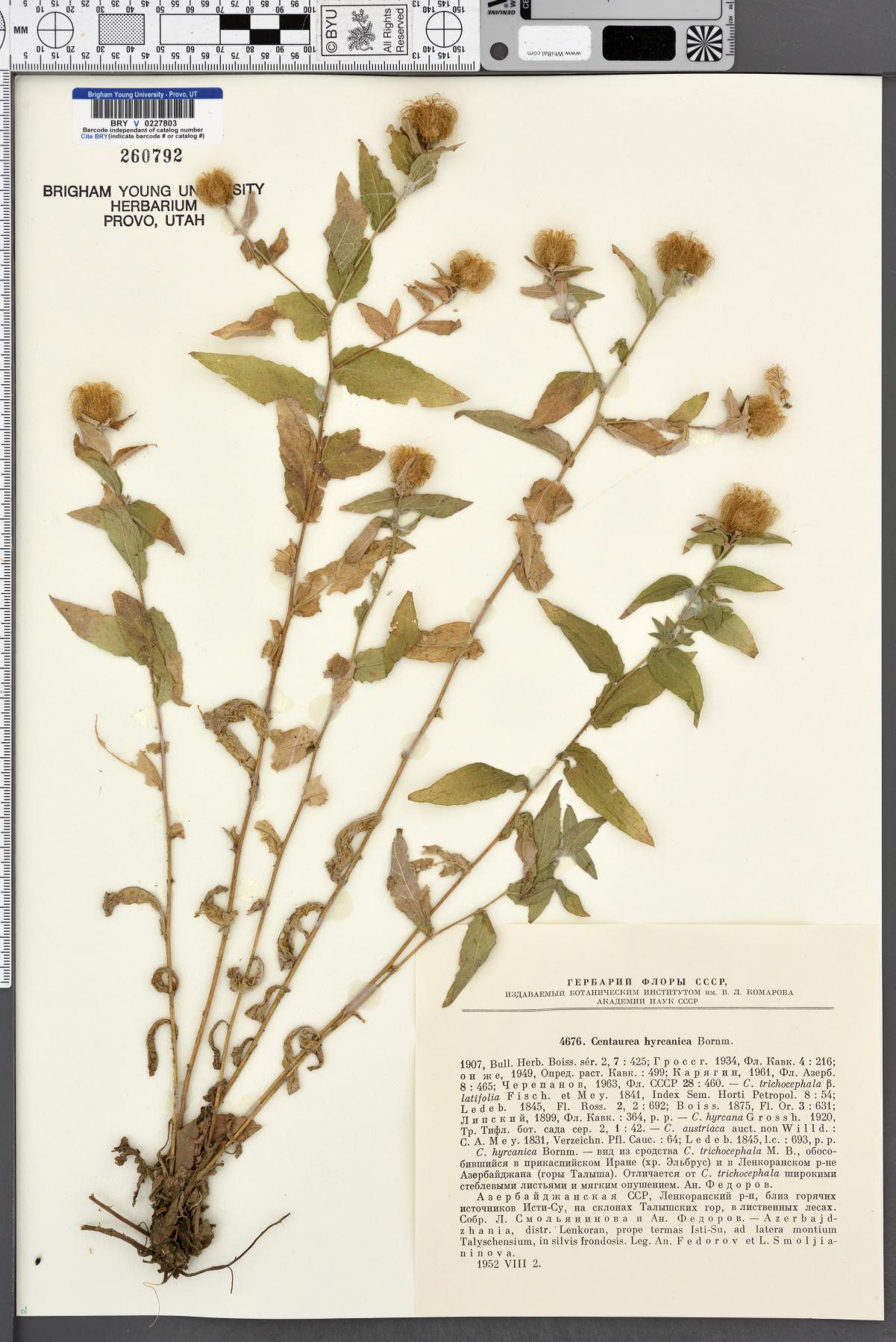 Centaurea hyrcanica image