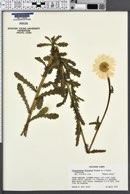 Image of Chrysanthemum x superbum