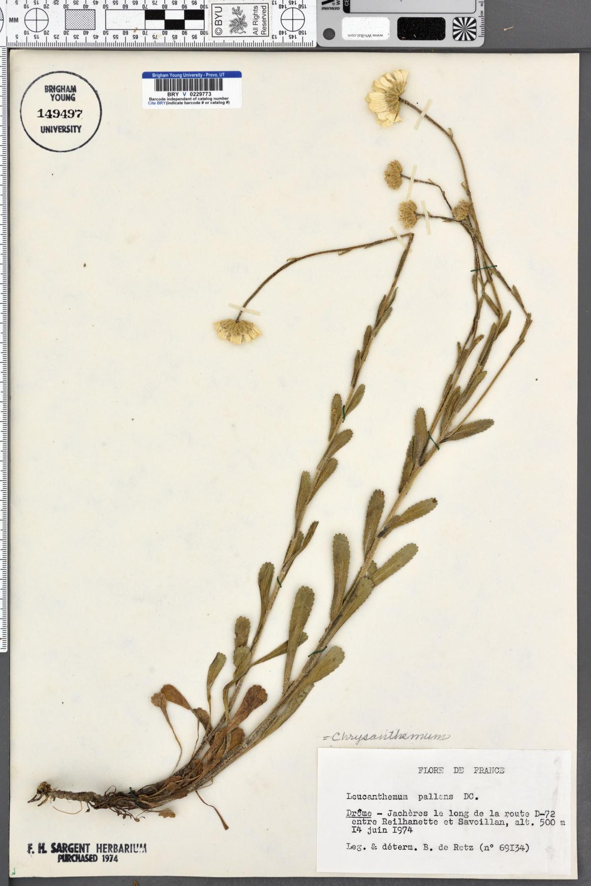 Chrysanthemum pallens image