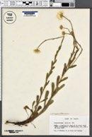 Image of Chrysanthemum pallens