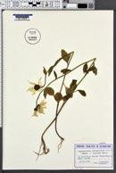 Image of Leucanthemum rotundifolium