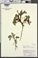 Chrysopsis jonesii image