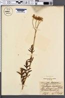 Chrysanthemum corymbosum image