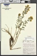 Heterotheca zionensis image