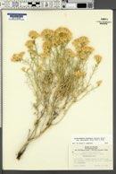 Ericameria nauseosa var. hololeuca image