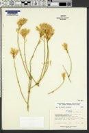 Ericameria nauseosa var. juncea image