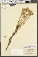 Ericameria nauseosa var. latisquamea image