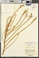 Ericameria nauseosa var. nitida image