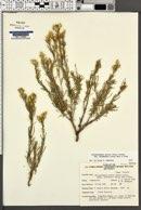 Ericameria parryi var. nevadensis image