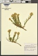 Ericameria parryi var. parryi image