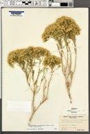 Chrysothamnus viscidiflorus subsp. viscidiflorus image