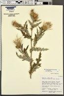 Cirsium arizonicum var. arizonicum image