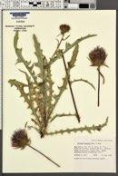 Cirsium coulteri image