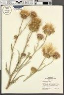 Cirsium davisii image