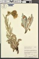 Image of Cirsium davisii