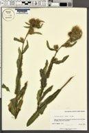 Cirsium parryi image