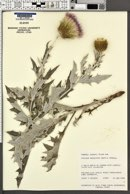 Cirsium undulatum image