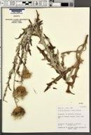 Cirsium wheeleri image