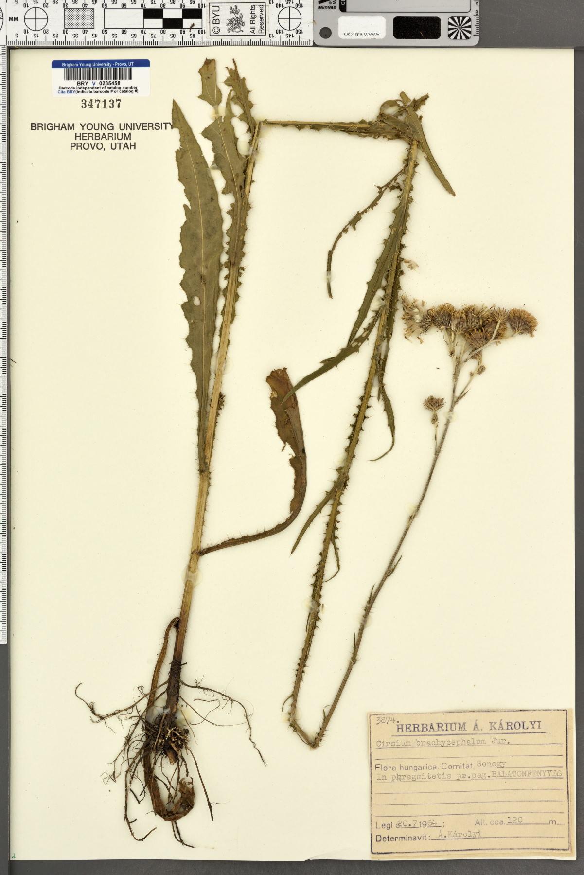 Cirsium brachycephalum image