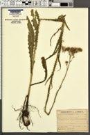 Image of Cirsium brachycephalum