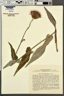 Image of Cirsium heterophyllum