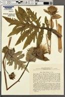 Cirsium oleraceum image