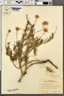 Clappia suaedifolia image
