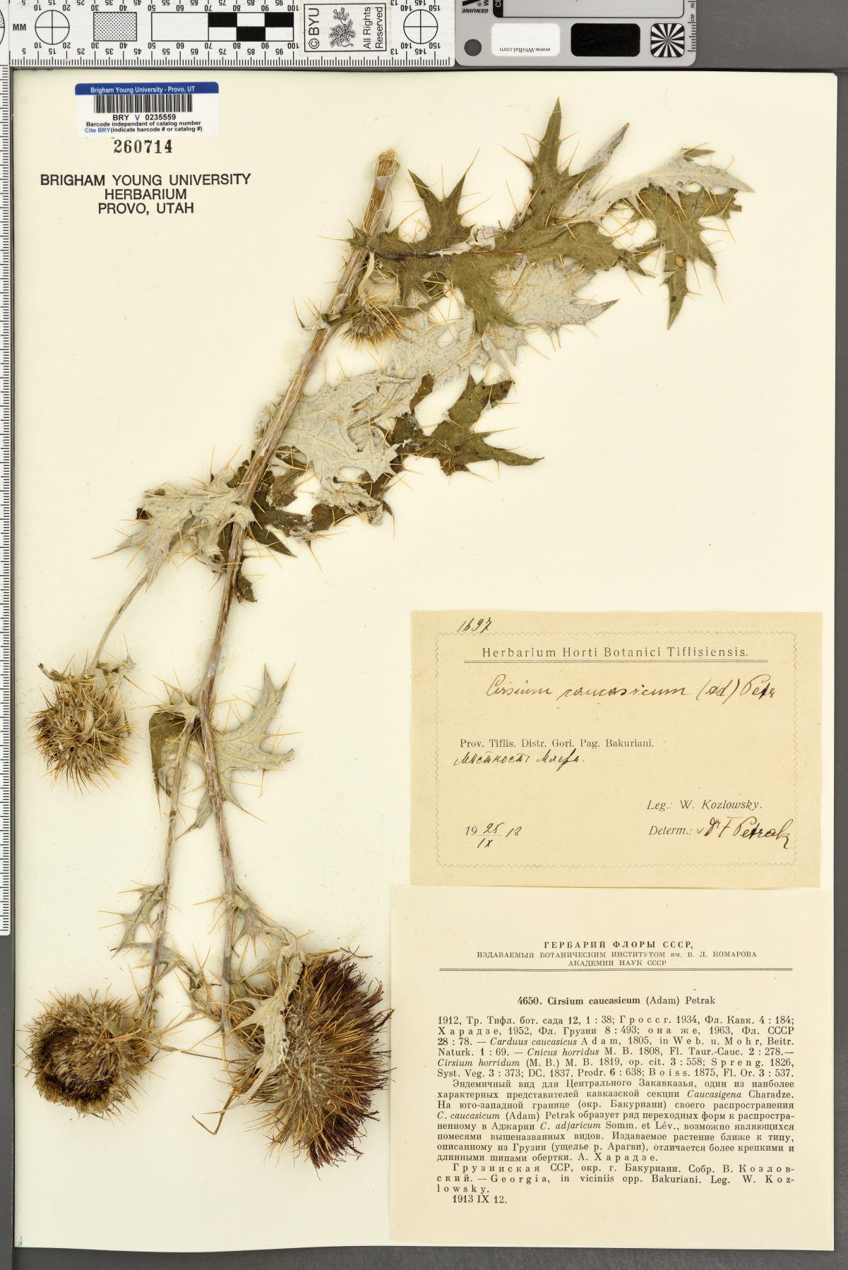 Cirsium caucasicum image