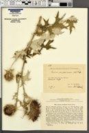Image of Cirsium caucasicum