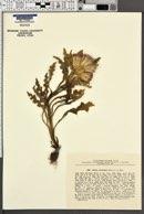 Image of Cirsium esculentum