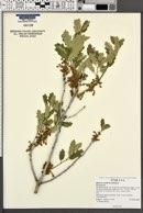 Quercus welshii image