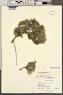 Phlox austromontana image