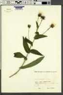 Image of Crepis blattarioides
