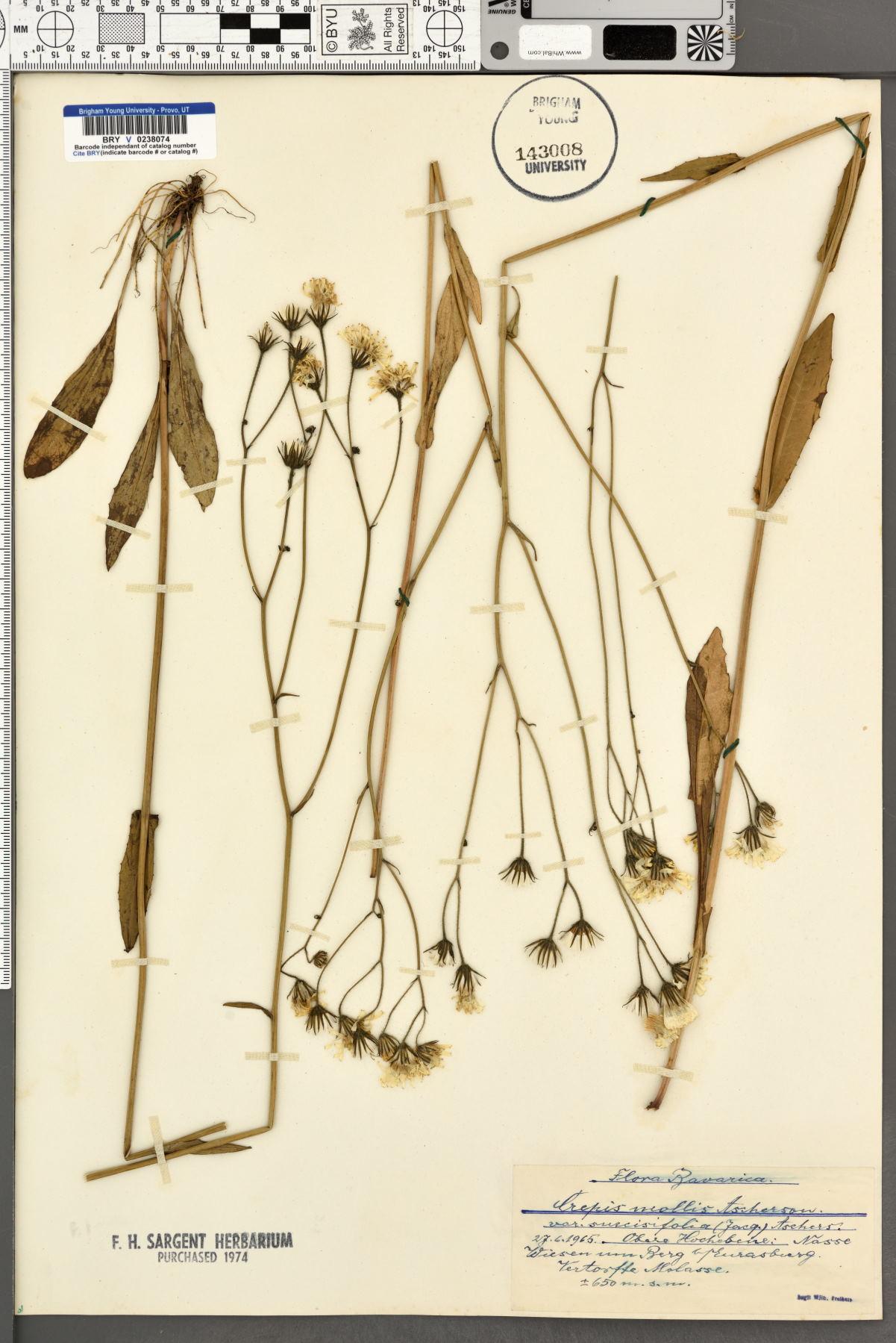 Crepis mollis image