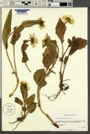 Doronicum grandiflorum image