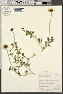 Encelia virginensis var. virginensis image