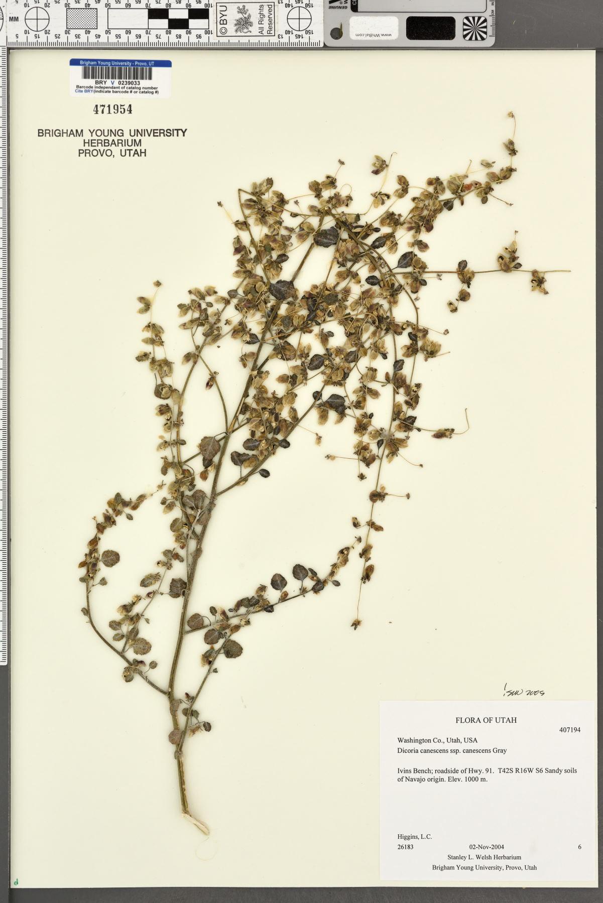 Dicoria canescens subsp. canescens image