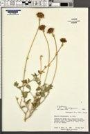 Encelia virginensis image